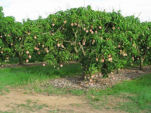 Let's Taste a Real Mango (Alphonso) in Ratnagiri ...